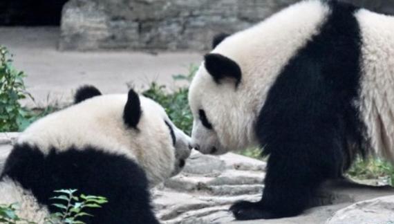 """双胞胎大熊猫""""萌宝""""和""""萌玉""""入驻北京动物园"""