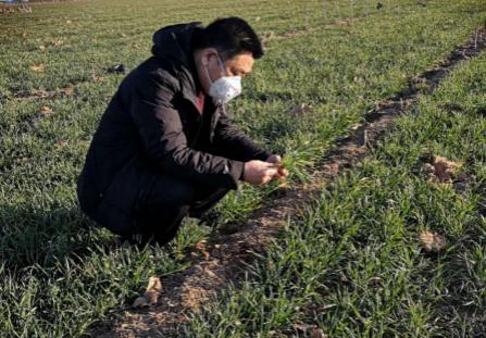 河北:小麦长势良好 冬季降水较往年偏多4成