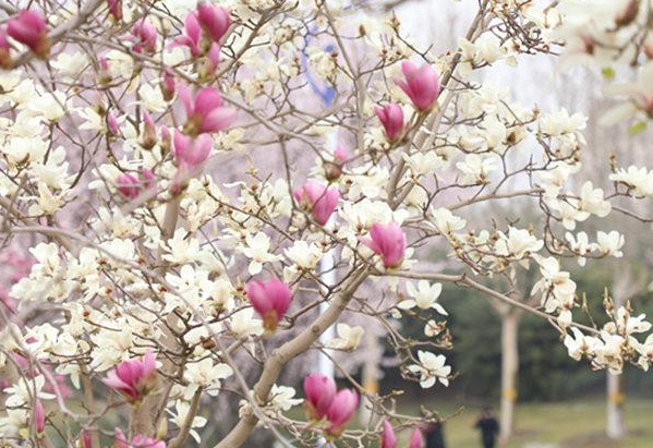 河北正定:百花竞艳春意浓 姹紫嫣红