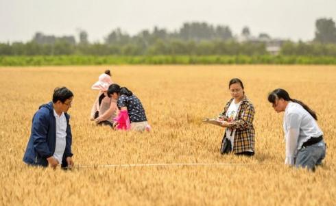 邯郸临漳县:小麦测产迎丰收