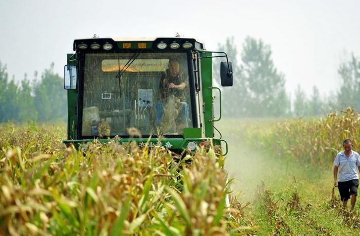 河北泊头:春玉米迎来收获季
