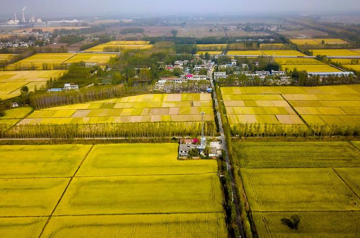 美丽田园!江北水乡台儿庄万亩水稻正飘香
