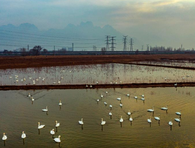 陕西:华山脚下赏天鹅