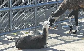 """驼羊宝宝取名""""巧克力""""""""动物王国""""取名背后的故事"""