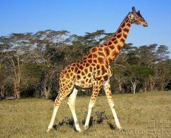 长颈鹿不属于鹿科的原因是什么?
