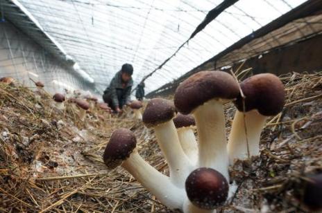 河北新河:特色食用菌种植带动群众增收