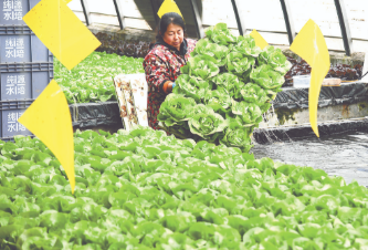 永清县大力发展设施农业 优化水培蔬菜种植