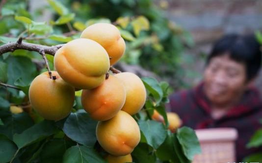 河北顺平:错季水果种植 助力乡村振兴