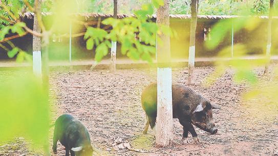 生态养猪实现完整碳循环 猪肉肉质非常好